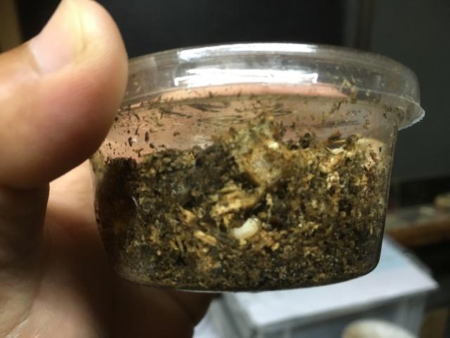 b3IN 幼虫