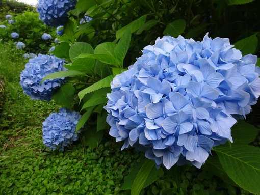 20160612 紫陽花①