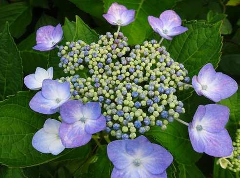 20160612 紫陽花②