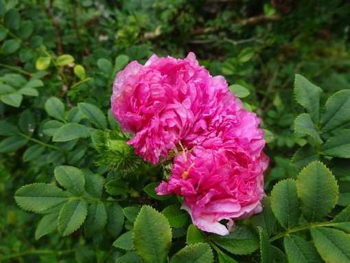 20160709 十六夜薔薇