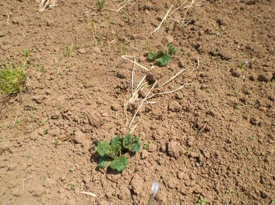 4.16ジャガイモの芽が出た