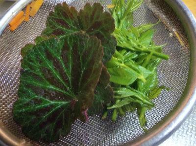 4.24タラの芽とユキノシタ