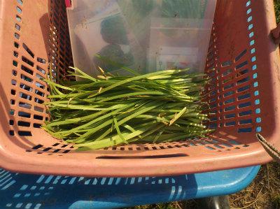 4.30ニラの収穫