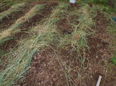 5.3里芋の植え付け