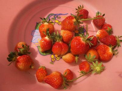 5.7イチゴ収穫
