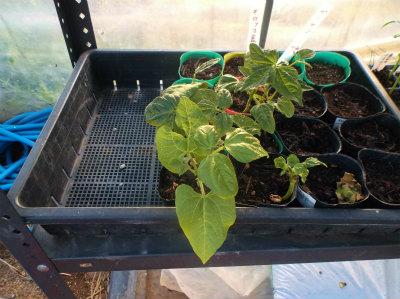 5.12モロッコ豆