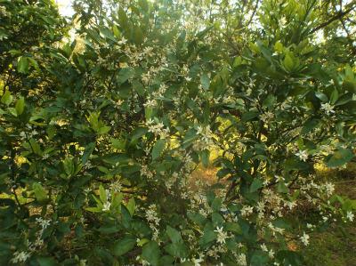5.22ミカンの花