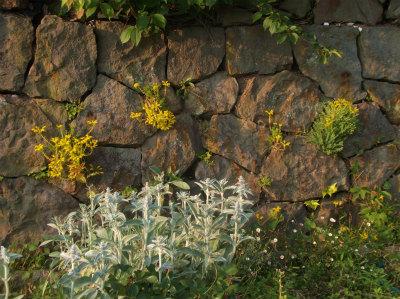 5.15石垣に咲く花