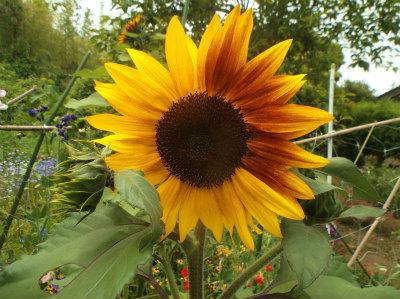 6.8向日葵の花