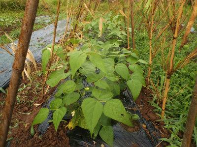 6.11モロッコ豆