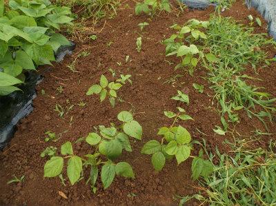 6.11緑豆