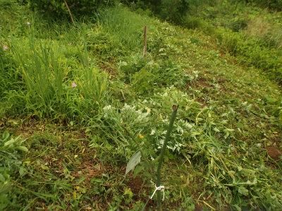 6.12果樹回りの草刈