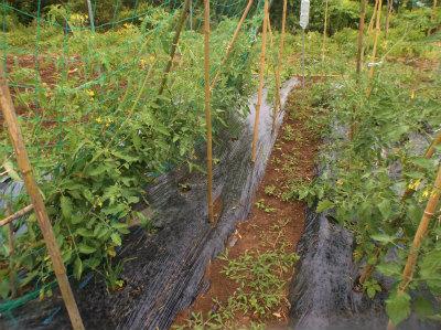 6.12トマトのソバージュ栽培