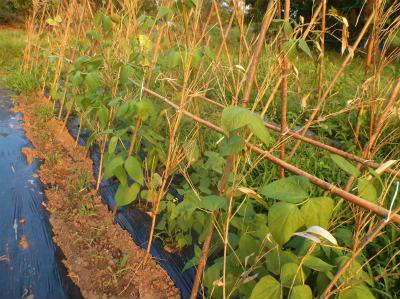 6.17登るモロッコ豆