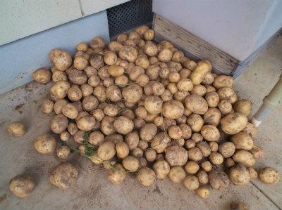6.18ジャガイモ収穫1