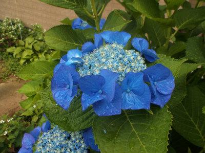 6.19玄関前の紫陽花