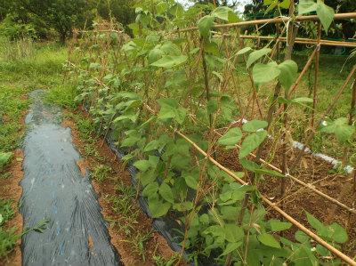 6.22モロッコ豆