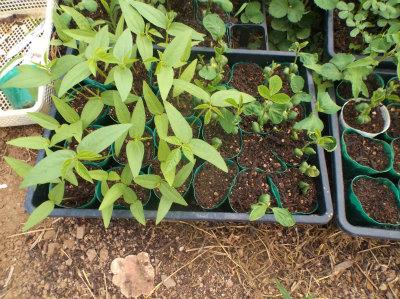 6.24緑豆・大豆