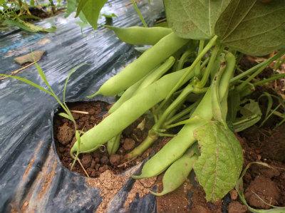 6.25モロッコ豆