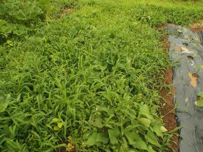 6.25草に埋もれるサツマイモ