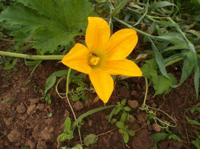 7.10糸カボチャの花