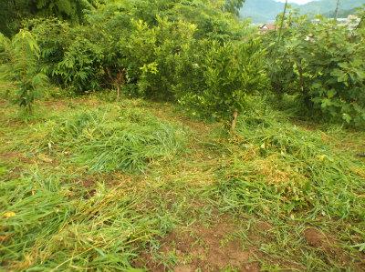 7.10果樹回りの草刈