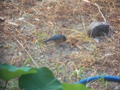 7.29庭に来る鳥2