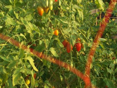 8.5トマト
