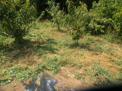 8.24果樹の草刈