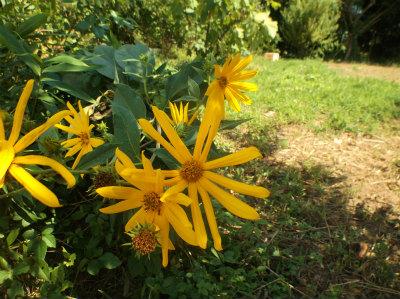 9.1畑の花