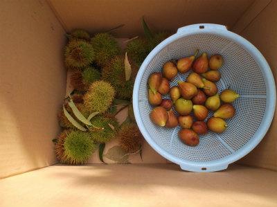 9.3栗とイチジクを収穫