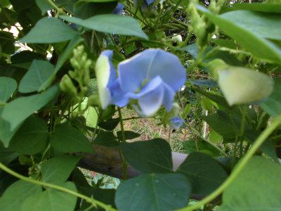 9.14四角豆の花