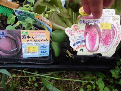 9.18紫キャベツ・白菜の苗