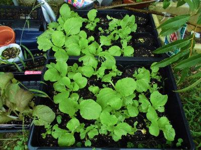 9.18白菜の苗