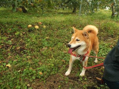 10.8リンゴ畑でマル2
