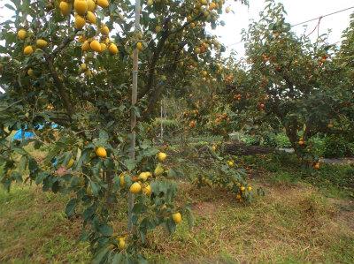 10.8リンゴ畑の柿