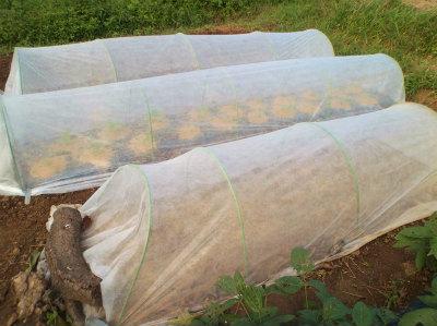 10.10白菜の追加定植