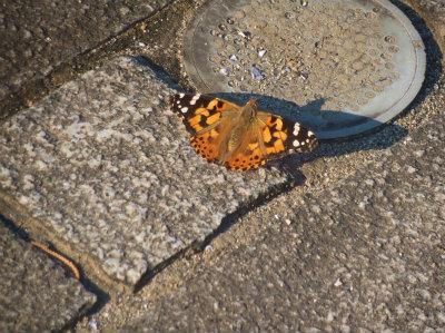 10.15きれいな蝶