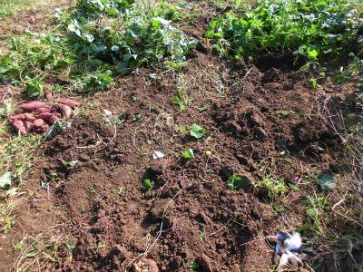 10.14サツマイモ収穫