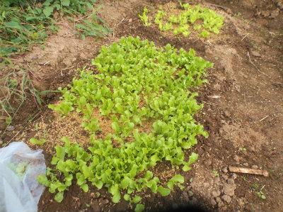 10.21レタスとサラダ菜