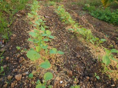 10.30露地ののらぼう菜