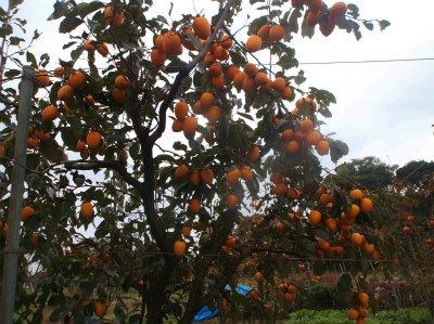 11.6叔母の畑の柿
