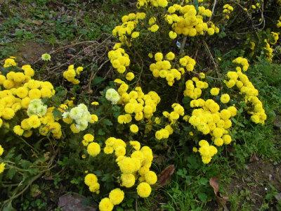 11.13畑の花