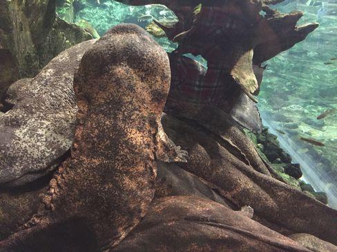 京都水族館・オオサンショウウオ_H28.07.02撮影