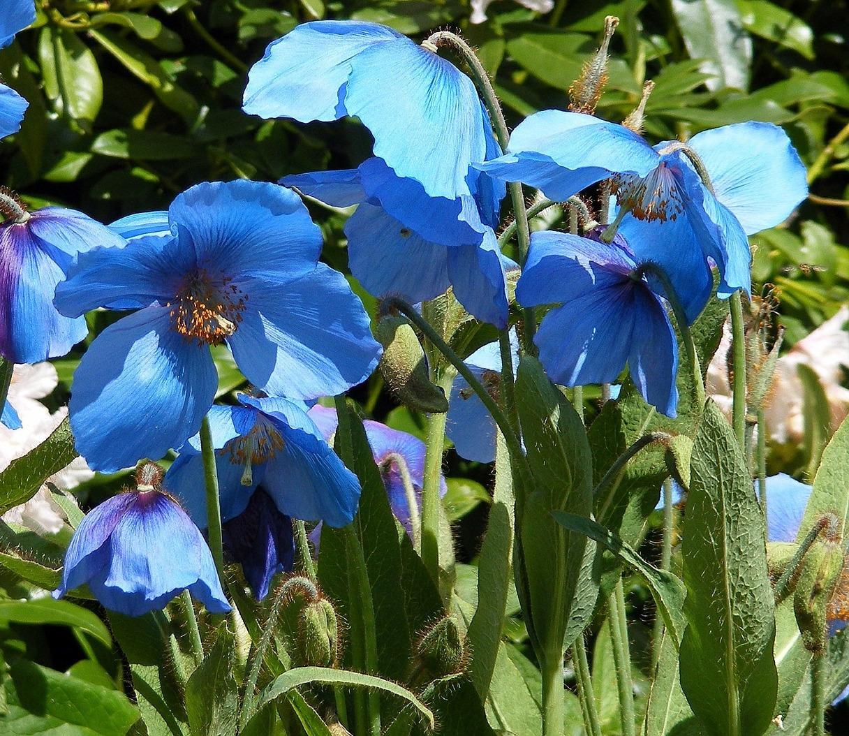 20160606_01_blue poppy