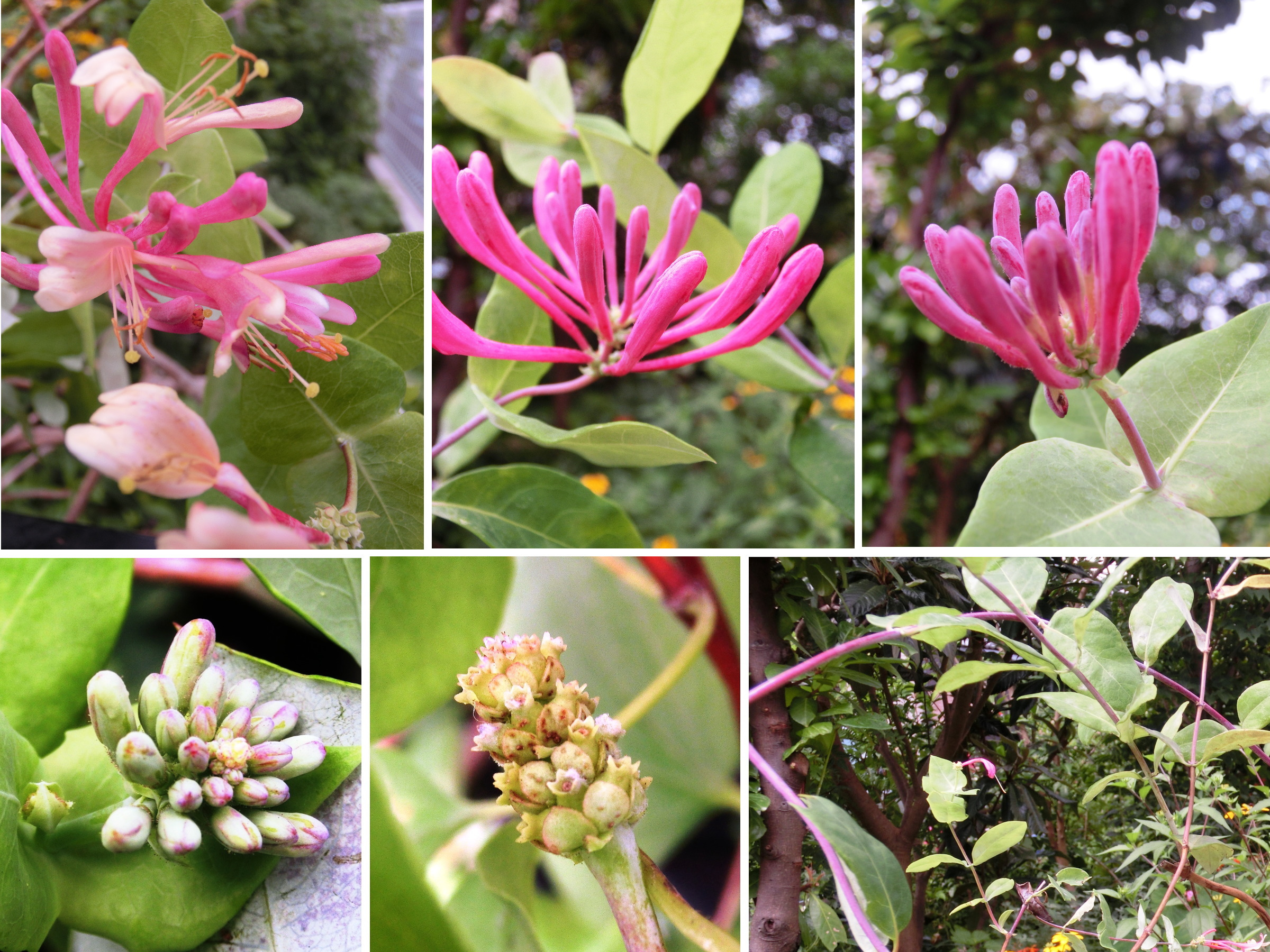 20160802_honeysuckle_july.jpg