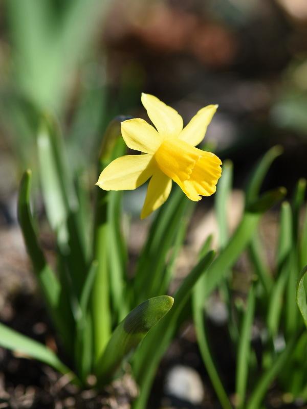 20160906_daffodil.jpg