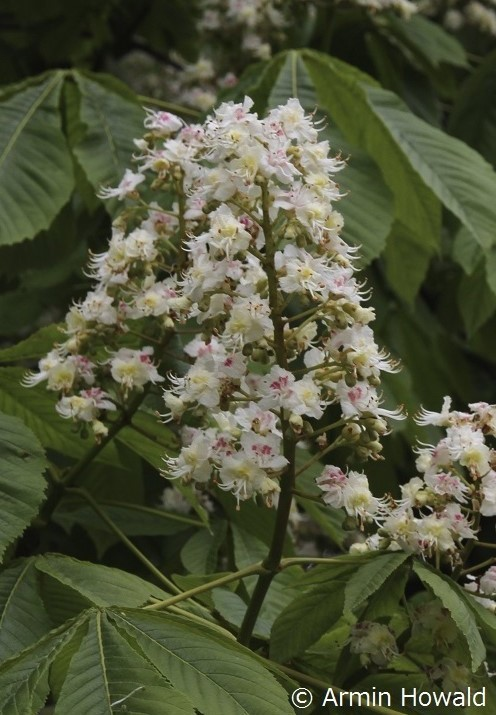 White Chestnut Armin 500x (2)
