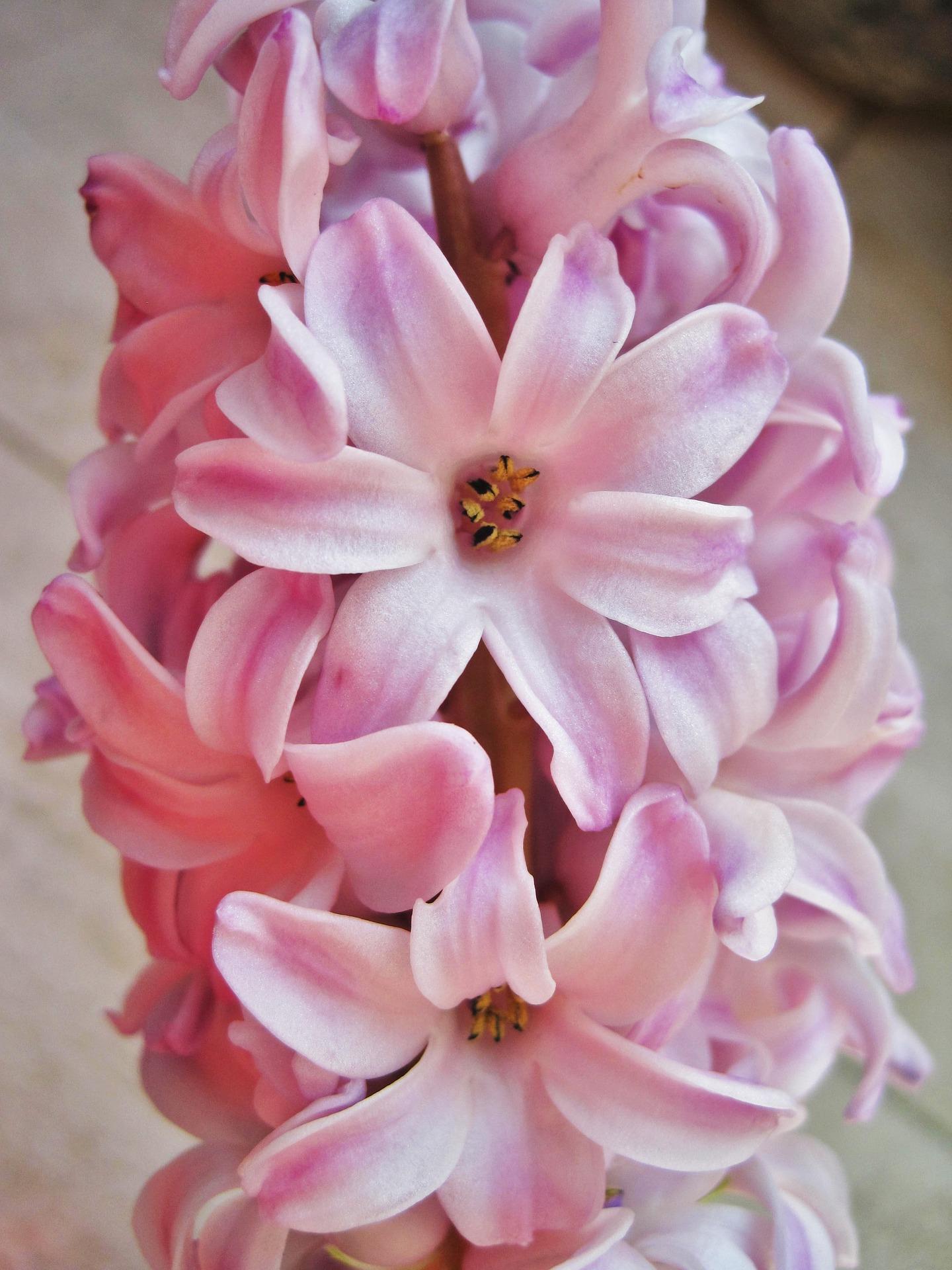 pink-hyacinth-1188069_1920.jpg