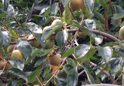 2016-10-17 08.52.26 柿